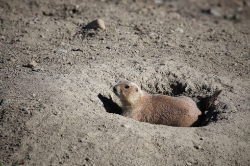 Black Tailed Prairie Dog Pest Control and Removal Services
