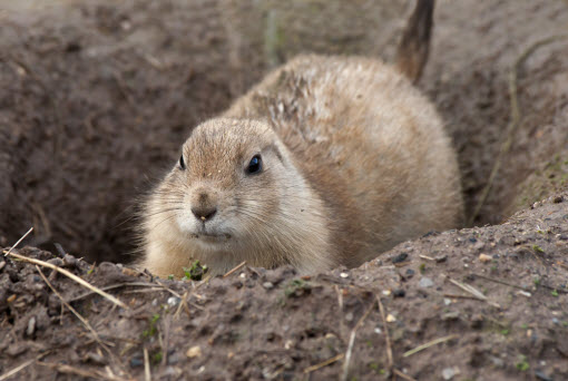 How to get rid of prairie dogs.